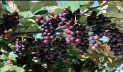 地被类--山葡萄